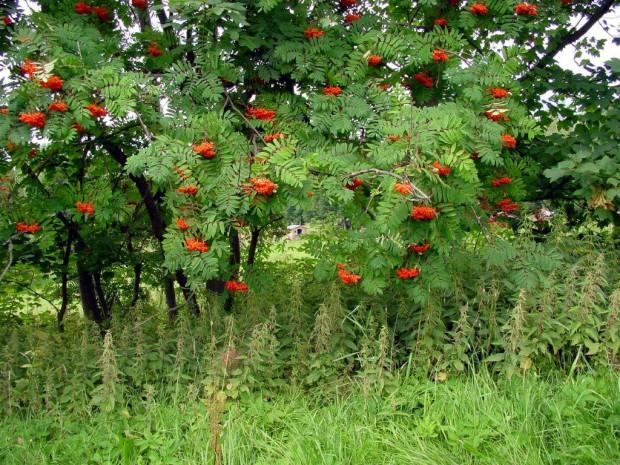 Eberesche Schneider 2003 620x465 Wir pfeifen auf die Eberesche – Pfeifla schnitzen aus Zweigen