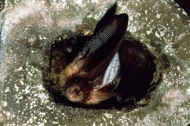 Fledermaus Dias Spath 036 620x414 Do, 17.08., 20.30 21.30 Uhr: Schnelle Jäger in der Nacht – die geheimnisvolle Welt der Fledermäuse
