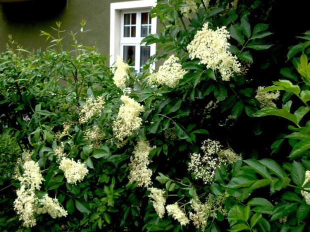 Holunder Sambucus nigra a Go 1 620x465 Sa, 11.06., 13.30 15.30 Uhr: Rezepte mit Holunder (Pflanze des Monats)