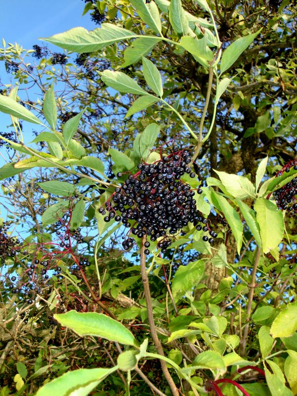 Holunder Sambucus nigra a Go Sa, 17.06., 14 Uhr: Heilpflanze Holunder (Pflanze des Monats)