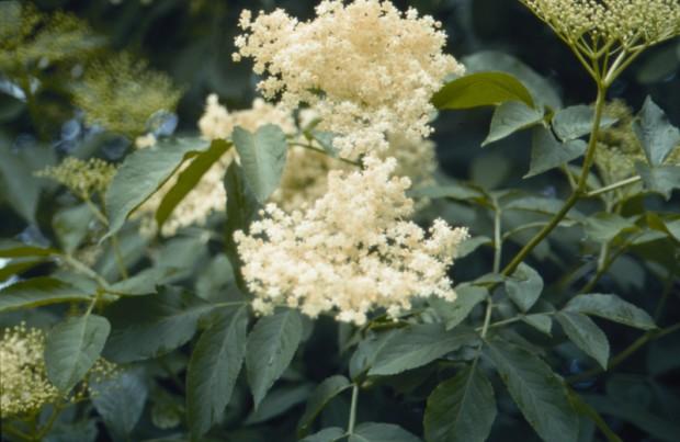 Holunderblüte 620x403 Rezepte mit Holunder (Pflanze des Monats)