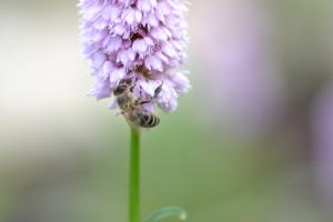 Honigbiene_WH