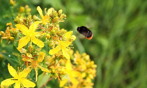 Johanniskraut 15. August 2014 Tee  und Würzkräuter (Pflanze des Monats)