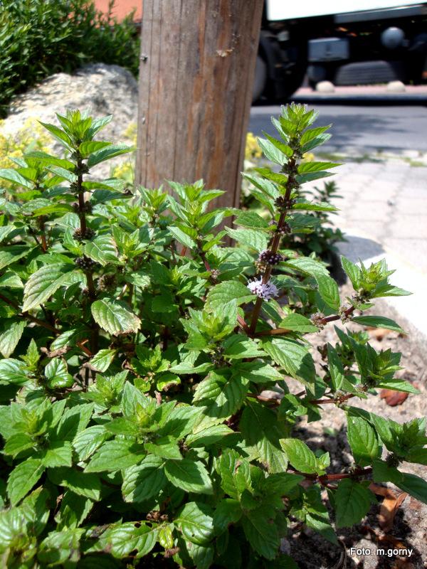 Kräuter Minze Mentha Go 1 Flüssiges aus der Kräuterküche (Pflanze des Monats)