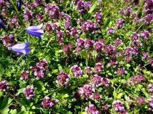 Kräuter Thymian pulegioides Go 12 300x225 Fr, 13.04., 14.30   16.30 Uhr: Frühlingskräuter