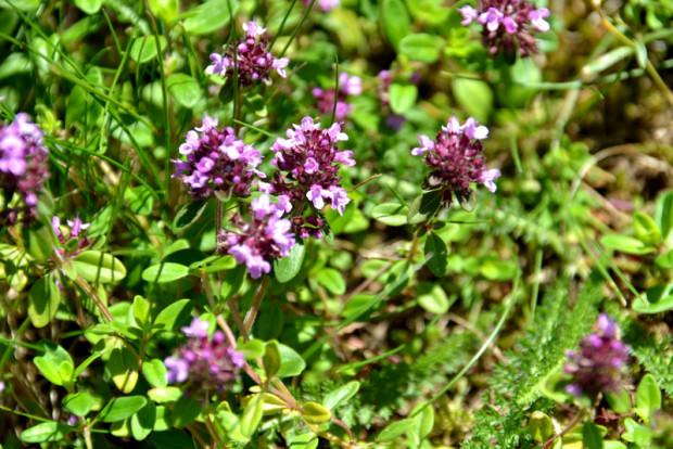Kräuter Thymianpulegioides WH 620x414 Sa, 28.07., 16 17.30 Uhr: Bader, Hebammen und Kräuterfrauen