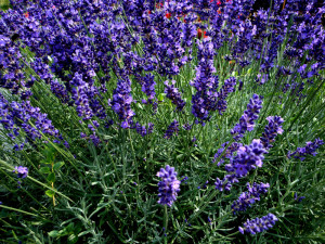 Lavendel m go
