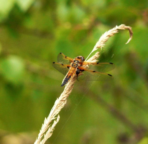 Libelle 620x604 Do, 07.07., 9   10:30 Uhr: Schule im Grünen – Naturpark Entdecker auf Wasser Expedition