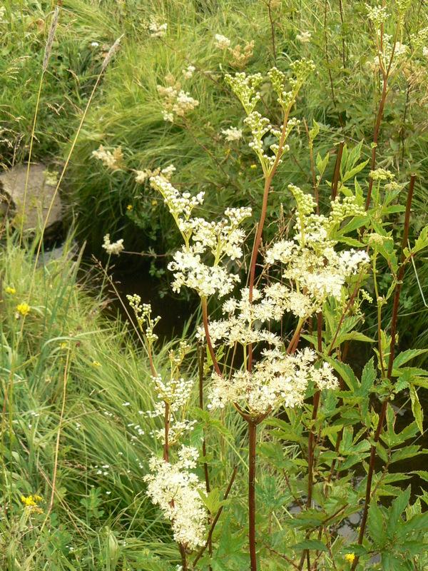 Mädesüß Feuchtbrache Breitenbrunn froheu 7 08 Fr, 17.06., 18 20 Uhr: Sommerkräuter am Abend (Pflanze des Monats)