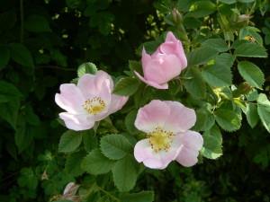 Rosenbusch Garten 6-08 froheu (10)