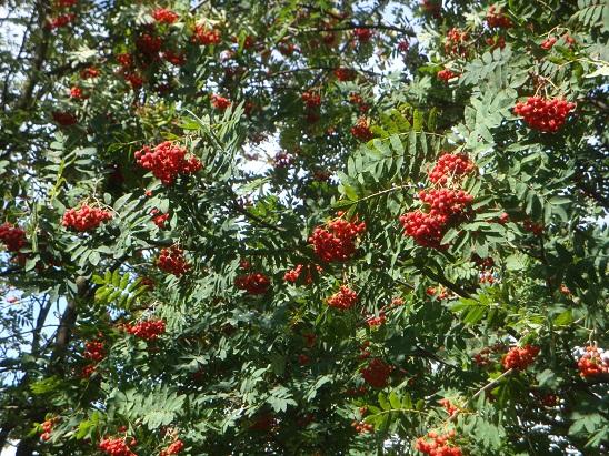 Vogelbeere1 Sa, 08.10., 14 Uhr: (Pflanze des Monats) Wie sich die Natur auf den Winter vorbereitet
