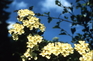 Weißdornblüte