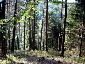 auerhuhnwald gänskopf ckr skal