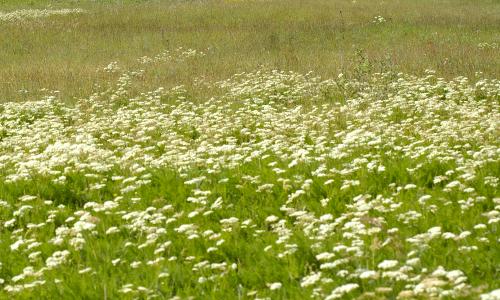 brwurzwiese beitrag 2. August 2014 Kräuterspaziergang in Grasseman (Pflanze des Monats)