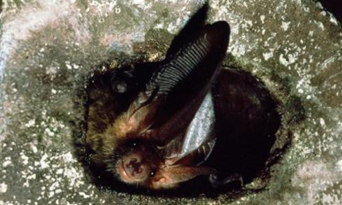 Fr, 26.05., 20 22 Uhr: Flugakrobaten in der Nacht – Die geheimnisvolle Welt der Fledermäuse
