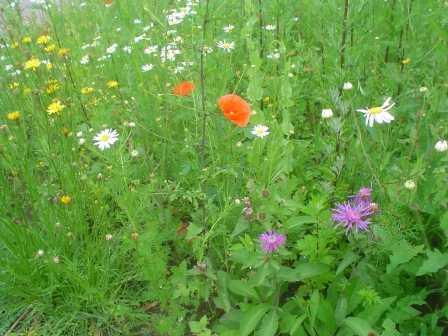 wildblumenwiese an der k lsoer m hle naturpark fl ming. Black Bedroom Furniture Sets. Home Design Ideas