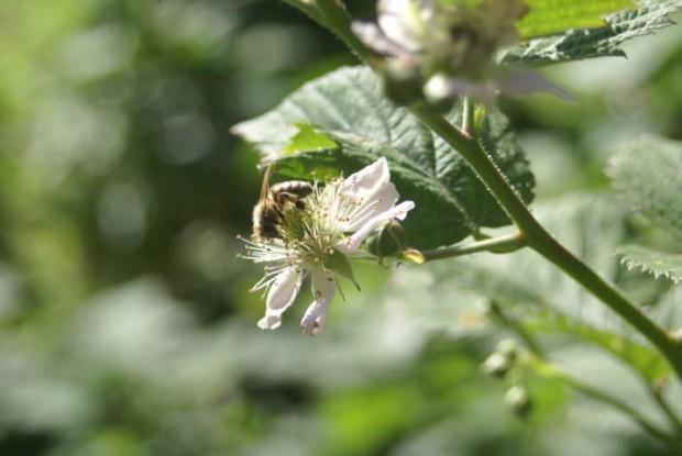 Biene DSC01880 imhäuser 620x415 Dem Imker über die Schulter schauen