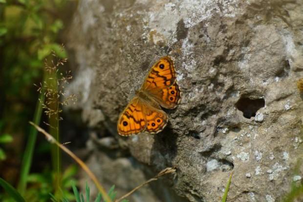 DSC00351 620x412 Schmetterlingsexkursion bei Wanfried