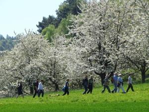 Kirschblüte (C) M. Lenarduzzi