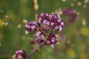 Oreganum vulgare (C) A. Imhaeuser