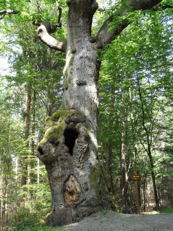 Eulenbaum im Kaufunger Wald c Susanne Pfingst Geheimnisvolle Bühnen zum Innehalten