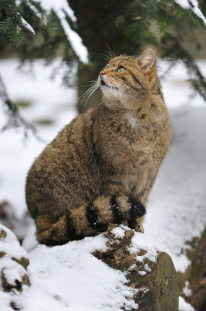 Wildkatze im Schnee (C) Fotolia Xaver Klaußner
