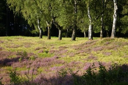 Heide bei Großalmerode c Andrea Imhäuser In die Schaf Heide bei Großalmerode