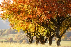 Herbstliche Kirschbäume (c) Andrea Imhäuser