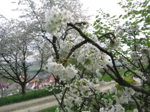 Kirschblüten über Wendershausen (c) Egon Apel
