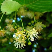 Lindenblüten (c) Wikimedia Commons