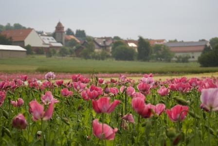 Mohnfelder Grandenborn mit Dorf im Hintergrund2 c Andrea Imhäuser Mohnblütenwanderung am Vormittag in Grandenborn