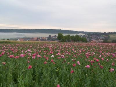 Nebel über Grandenborner MohnblütecWerner Mest Mohnblütenwanderung am Nachmittag in Grandenborn