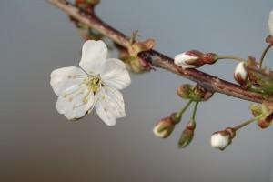 Beginnende Kirschblüte (c) Marco Lenarduzzi