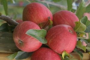 Rote Äpfel (c) Andrea Imhäuser