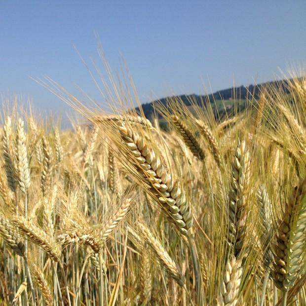 NH pixabay cereals 2447835 960 720 e1528272243201 620x620 LandTour   Vom Korn zum Mehl zum Brot