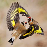 Goldfinches Carduelis carduelis, squabbling near seed feeder in garden, Berwickshire, Scotland, April