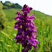 Naturpark Habichtswald_2014_ALudolph_Orchidee Helfensteine