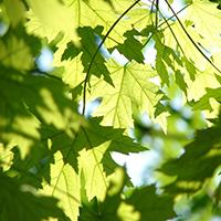 Naturpark Habichtswald_2015_Pixabay_Ahornblätter