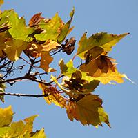 Naturpark Habichtswald_2015_Pixabay_Ahornfrüchte