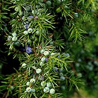 Naturpark Habichtswald 2015 Pixabay Wacholder Jahreskreis Fest: Herbst Tag und Nacht Gleiche