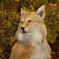 Naturpark Habichtswald 2016 AHartmann Luchs Ausstellung: Wolf, Luchs und Wildkatze