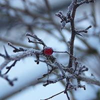 Naturpark Habichtswald 2017 ALudolph Bäume im Winter Welche Knospe gehört zu welchem Baum? – Baumbestimmung im Winter