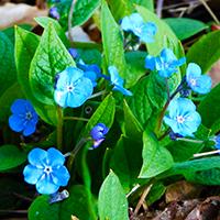 Naturpark Habichtswald 2017 ALudolph Frühlingsblumen Blau Botanische Exkursionen rund um Zierenberg: Frühjahrsblüher am Schreckenberg