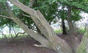 (C)Naturpark Habichtswald/AHartmann/2013/Baum