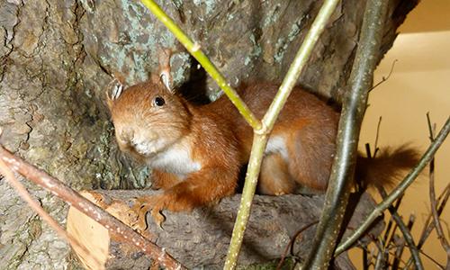 Naturpark Habichtswald AHartmann 2014 Eichhoernchen Neues Ausstellungskonzept im Naturparkzentrum Habichtswald