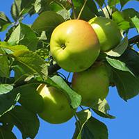 Naturpark Habichtswald Claudia Thöne Äpfel Obstwiesenwanderung: Alte Apfelsorten sind spitze!