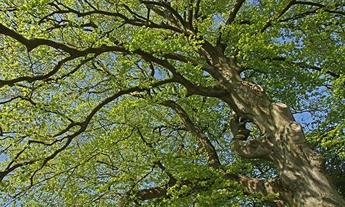 Naturpark Habichtswald Karner Buchenkrone Der Baum – Das unbekannte Wesen