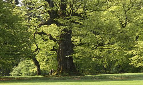 Naturpark Habichtswald Karner Golfbuche Baum und Mensch   Bäume in ihrer ganzen Pracht