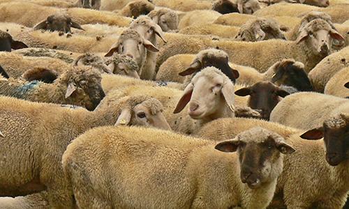 Naturpark Habichtswald Karner Schafe Wolle   viel mehr, als nur das Kleid vom Schaf