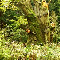 Naturpark Habichtswald_LKarner_Baum